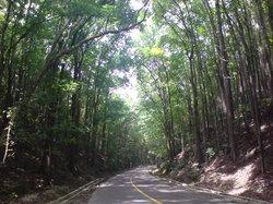 Mahogany人工森林