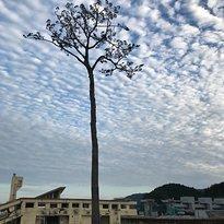 Miracle Lone Pine Tree